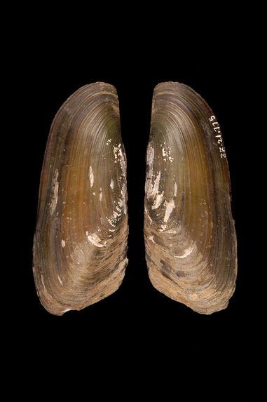 Musc de civette dans une coquille de moule