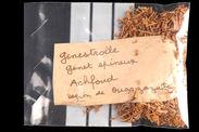 Echantillon végétal : genêt
