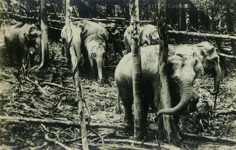 Elephants, Malaya, collection of the artist