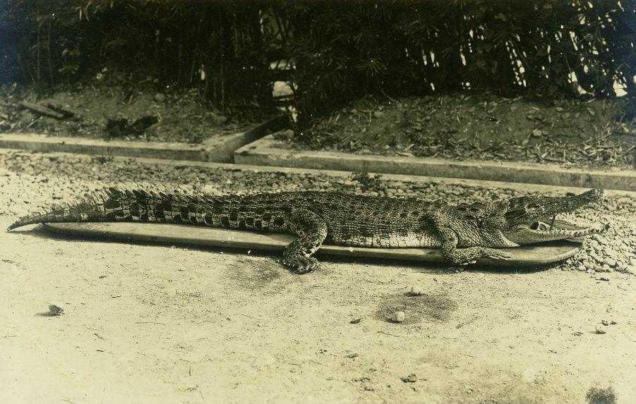 Crocodile, Malaya, collection of the artist
