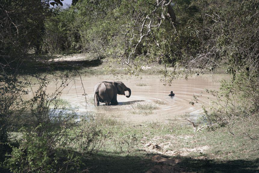 Elephant in Pond, Belum