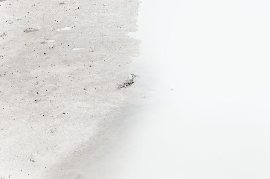 Wild crocodile, Sabah