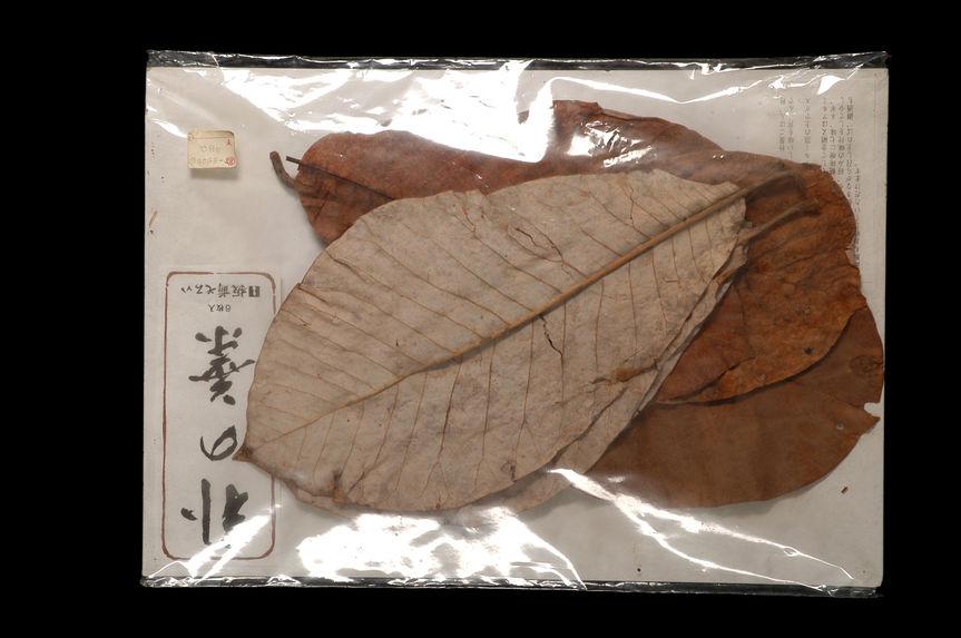 Feuilles de magnolia séchées