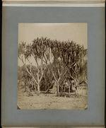 Vacoas (Pandamus utilis).