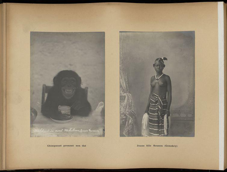 Chimpanzé prenant son thé