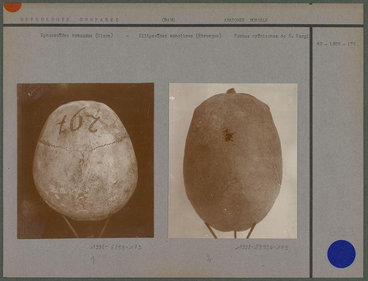 Sphaeroïdes rotundus (Slave)