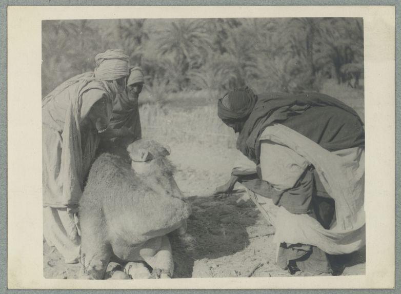 On marque un chameau au fer rouge