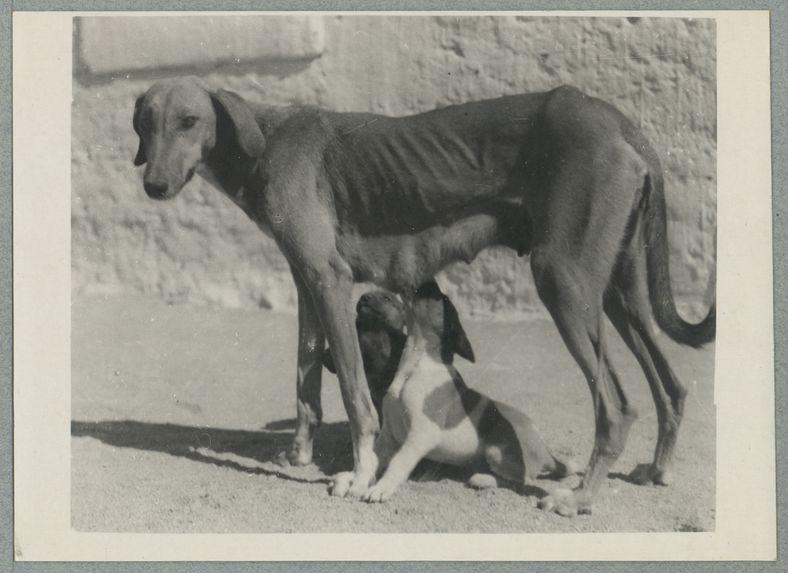 Chienne targuïa et ses petits
