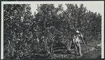 """Plantation de """"Yerba maté&quot"""