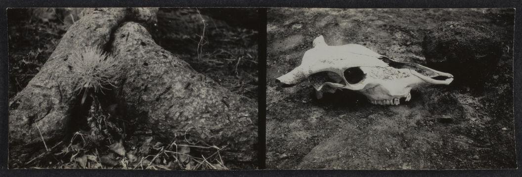 Sans titre [Deux vues représentant un crâne animal  et les racines d'un arbres ?]