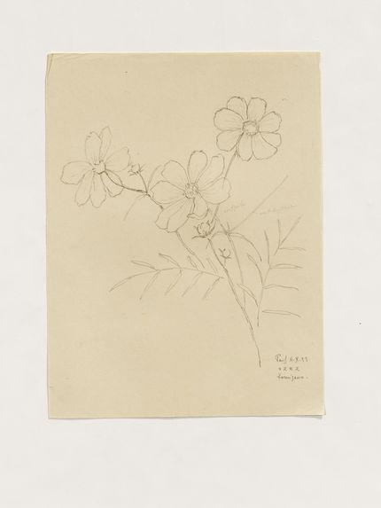 Cosmos (fleur)
