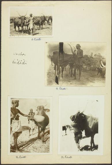 Vaches bodâdi [jeune homme tenant une vache]