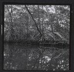 La mangrove à Rio Viejo